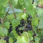 black-currants